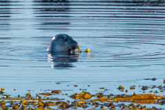 Grey Seal que juega con una alga marina cerca de Hvammstangi, Islandia del norte Foto de archivo libre de regalías
