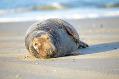 Grey seal relaxing on the beach Royalty Free Stock Image