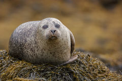 Grey seal relaxing Stock Image