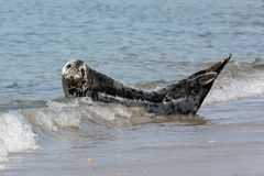 Grey seal resting at the beach of German island Helgoland Royalty Free Stock Photo