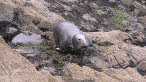 Grey seal resting on the rocks stock footage