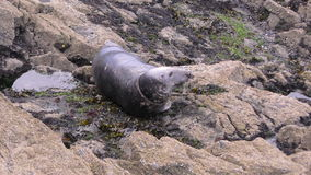 Grey Seal Resting stock footage