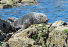 Grey seal on rock Stock Photos