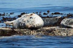 Grey seal on rocks Stock Image