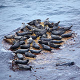 Grey Seal rookery Stock Images
