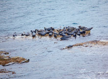 Grey Seal rookery Royalty Free Stock Image