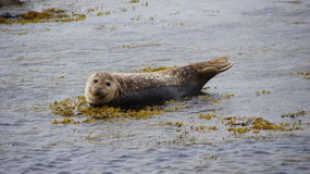Grey seal in Snaefellsnes Iceland Royalty Free Stock Photo