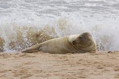 Grey Seal sur la plage Image libre de droits