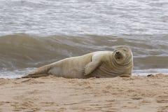 Grey Seal sur la plage Photographie stock