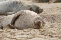 Grey Seal sur la plage Photographie stock libre de droits