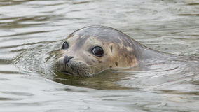 Grey Seal Swimming Stock Images