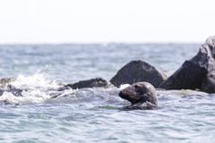 Grey seal swimming in the northern sea - Halichoerus grypus stock photography