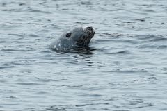 Grey Seal. Swimming on the surface of the ocean. Cape Dauphin, Victoria County, Cape Breton Island, Nova Scotia, Canada Royalty Free Stock Image