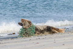 Grey seal trapped in a fisherman's net Stock Photo