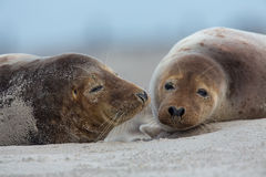 Grey Seal Royalty Free Stock Images