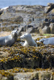 Grey Seal valper Royaltyfri Foto