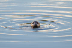 Grey Seal. A Wild Grey Seal Swimming in Cold Water Royalty Free Stock Photography
