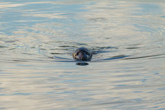 Grey Seal Stock Image