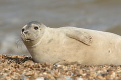 Grey Seal (Halichoerus grypus)relazing on a beach in Horsey. Stock Photos
