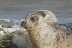 Grey Seal (Halichoerus grypus)relazing on a beach in Horsey. Royalty Free Stock Photography