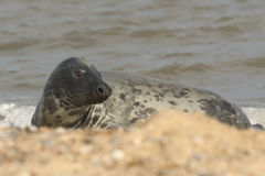 Grey Seal (Halichoerus grypus)relazing on a beach in Horsey. Stock Photo