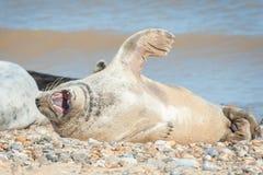 Grey seal yawning Stock Image