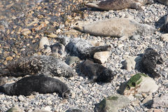 Grey Seals Lizenzfreies Stockfoto