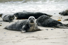 Grey Seals Images stock