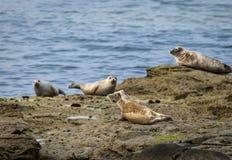 Grey Seals Imágenes de archivo libres de regalías