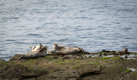 Grey Seals Stockfotos