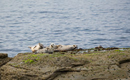 Grey Seals Imagem de Stock Royalty Free