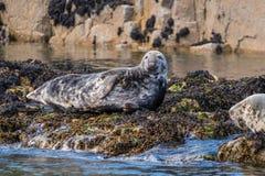 Grey Seals alle isole di Farne Immagine Stock Libera da Diritti