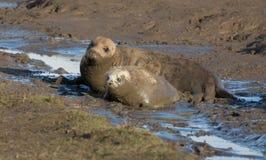 Grey Seals bei Donna Nook Stockfotografie