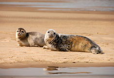Grey Seals, Blakeney-Punkt, Norfolk, Großbritannien Stockfotografie