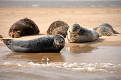 Grey Seals, Blakeney-Punkt, Norfolk, Großbritannien Stockbild