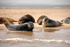 Grey Seals Blakeney punkt, Norfolk, UK Royaltyfri Bild