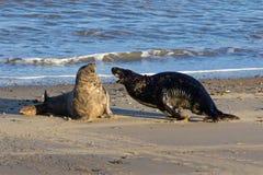 Grey Seals, das auf dem Strand kämpft Stockfoto