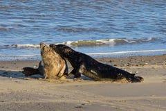 Grey Seals, das auf dem Strand kämpft Stockbild