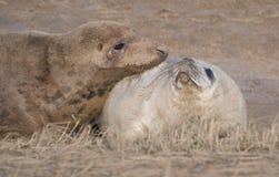 Grey Seals in Donna Nook Royalty-vrije Stock Foto's