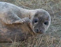 Grey Seals at Donna Nook Royalty Free Stock Images