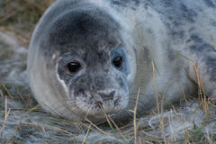 Grey Seals at Donna Nook Stock Photo