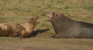 Grey Seals at Donna Nook Stock Photography