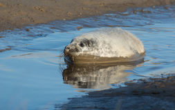 Grey Seals at Donna Nook Royalty Free Stock Photo