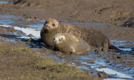 Grey Seals at Donna Nook. Grey seals on the beach at Donna Nook, where they come ashore in the late autumn to have their pups Stock Photography