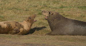 Grey Seals em Donna Nook Fotografia de Stock