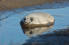 Grey Seals em Donna Nook Foto de Stock Royalty Free
