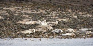 Grey Seals en la isla de Staffin de Skye Imagenes de archivo