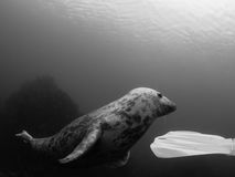 Grey seals in the Farne Islands. Black and white image of a playful young grey seal, Halichoerus grypus, photographed under natural light while interacting with Stock Image