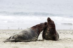 Grey seals fighting Royalty Free Stock Photography