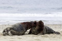Grey seals fighting Royalty Free Stock Images